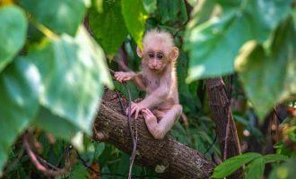 Пронајден нов вид мајмун во Мјанмар