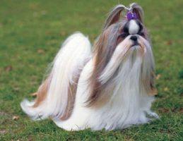 Големи колку една шака: најмалите раси на кучиња