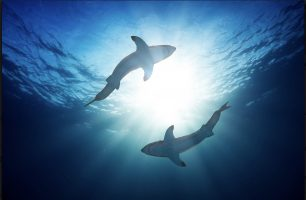 Во последните 50 години бројот на ајкули се намали за 70 проценти