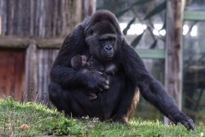 Горили се заразиле од корона во зоолошка во Сан Диего