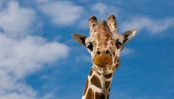 Угина жирафата Тобого од скопската Зоолошка градина
