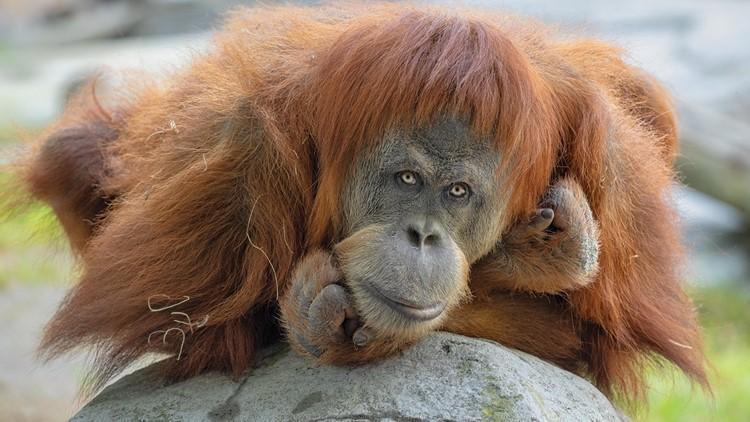(Видео) Во зоолошка во Сан Диего се вакцинирани првите мајмуни против коронавирус
