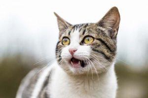 Откриен прв случај на мачка заразена со британскиот вид на коронавирус