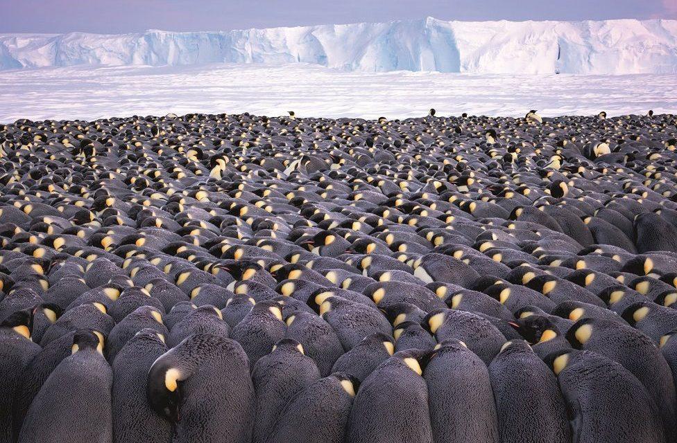 Се гушкаат за да преживеат: Фотограф минал две зими на Антарктикот со 10.000 пингвини.