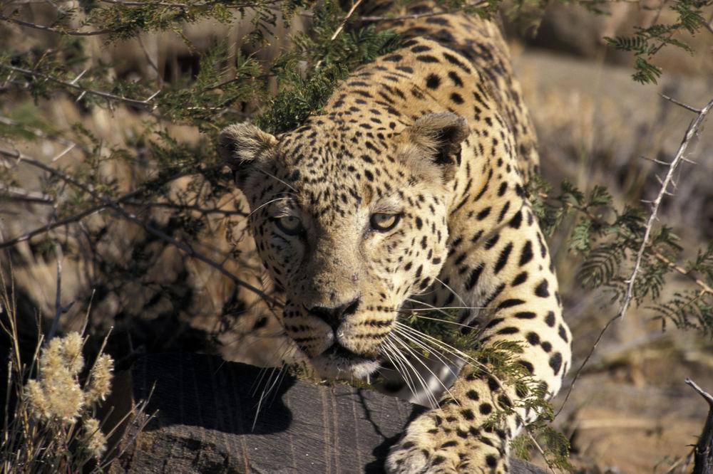 Леопарди побегнале од сафари-парк во Кина